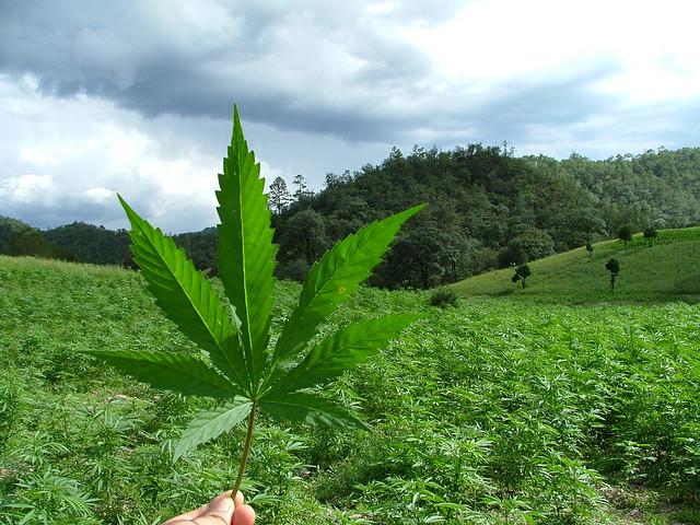 marihuana-flickr-oswaldo